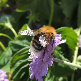Male bumblebee (Bombus hypnorum), Sandy, Bedfordshire