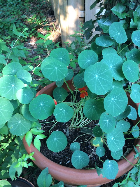 nasturtium planting in potted herb garden by futuransky