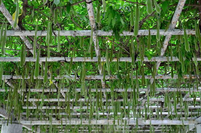 フジの実 Japanese wisteria