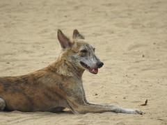 animal sports(0.0), dingo(0.0), czechoslovakian wolfdog(0.0), pet(0.0), jackal(0.0), lycaon pictus(0.0), wolfdog(0.0), dhole(0.0), saarloos wolfdog(0.0), animal(1.0), dog(1.0), street dog(1.0), mammal(1.0), fauna(1.0), wildlife(1.0),