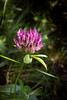 Trifolium/Trifoglio by A Cris ... Je suis Charlie. Back in September