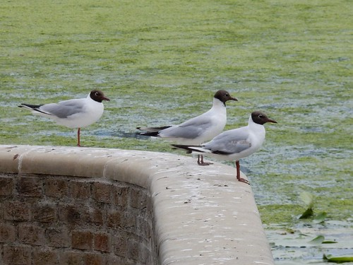 Terns on the Ouse