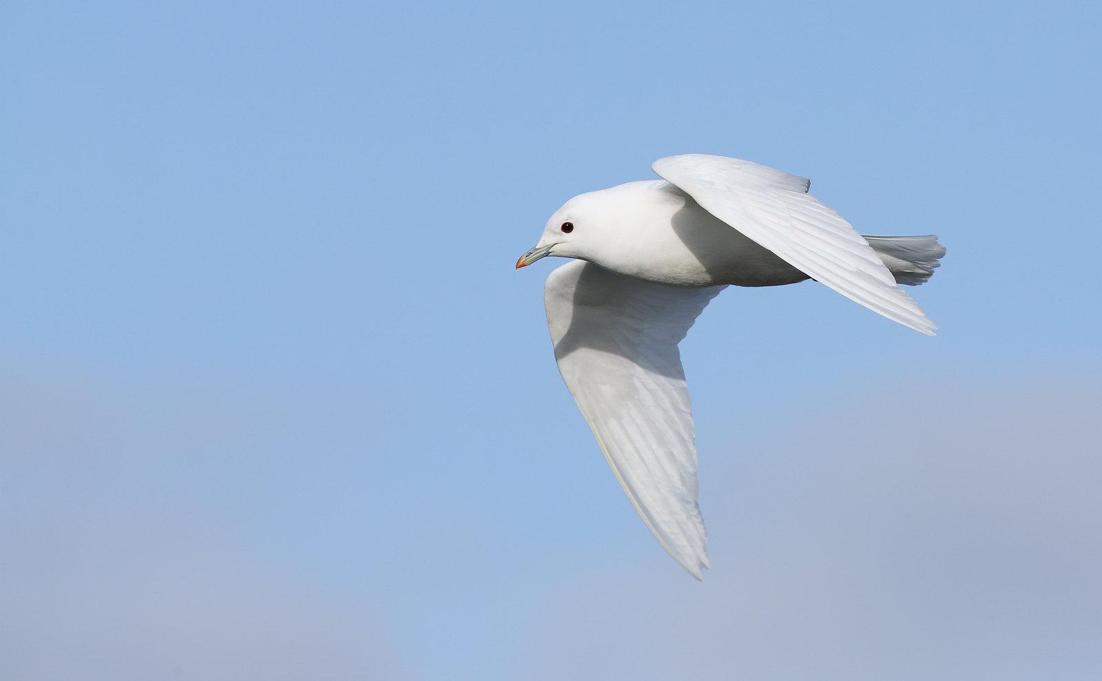 Ivory Gull [adult]