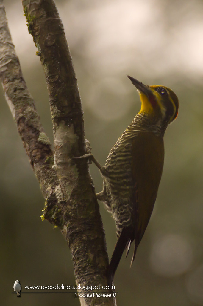 Carpintero dorado verdoso (White browed Woodpecker) Piculus aurulentus