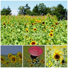 Sunflowers and Cosmos Oh My!