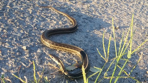 Why Did The Snake Cross The Road? 20150806_062017
