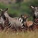 Dazzle of Zebras - 6165b+ by teagden