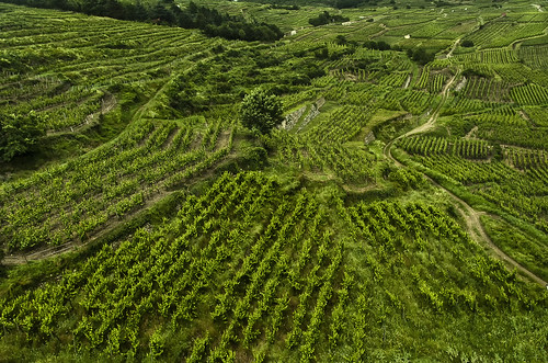 alsace france europe vineyard viñedos vino wine winery verde green rows lineas sembradio kaysersberg castle view nature hautrhin europa