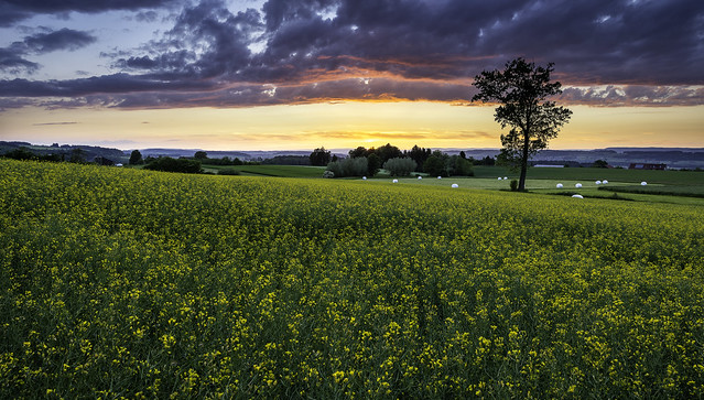 Rapeseed & Sunset
