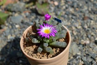 DSC_0063 Frithia pulchra  フリチア 光玉