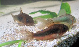 3 Bronze Cory catfish rest on top of white sand