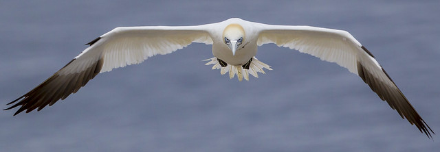 Flying Northern Gannet - Sula bassana - Fou de Bassan