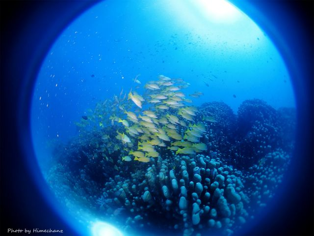 竹富ブルーに映えるヨスジフエダイの群れ