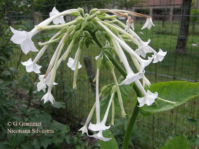 Nicotiana-silvestris