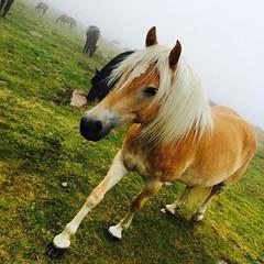 E ci siamo fatti un'altro amichetto #dolomiti #visioni #cavalli