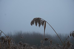 Reed plum in the cold  29-12-16