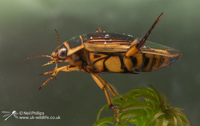 Wasp diving beetle Dytiscus circumflexus-4