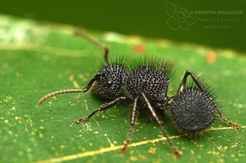 Spiky ant (Echinopla sp.)