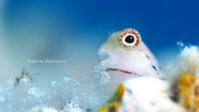 イシガキカエルウオ幼魚もいっぱい♪