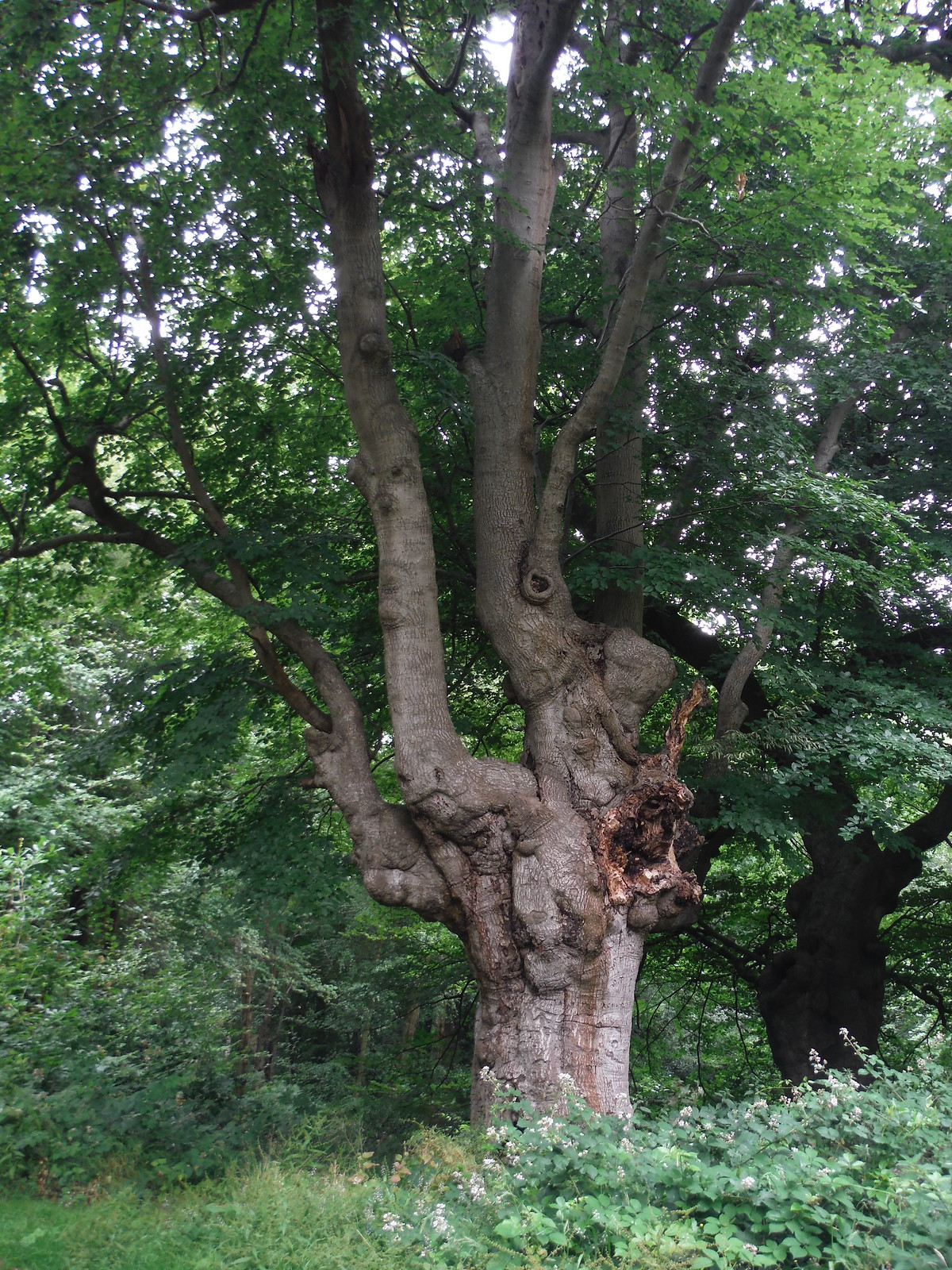 Ancient Pollarded Tree in Burnham Beeches SWC Walk 189 Beeches Way: West Drayton to Cookham