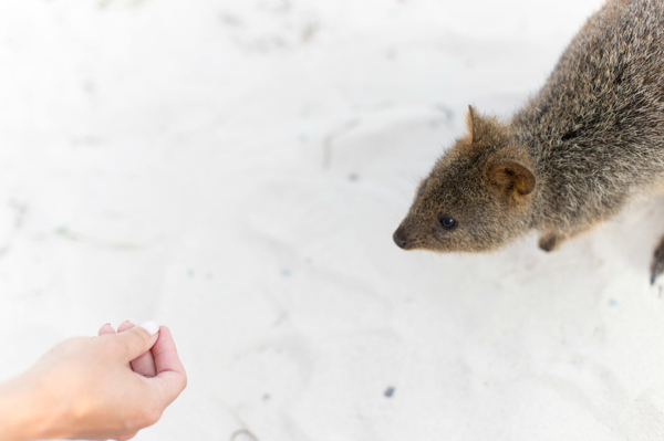 Quokka Encounter Rottnest Island