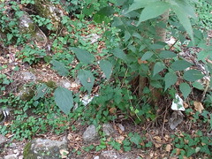 Πεταλούδες Panaxia Quadripunctaria στην κοιλάδα της Ψίνθου