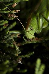 Grande sauterelle verte - Photo of Louchats
