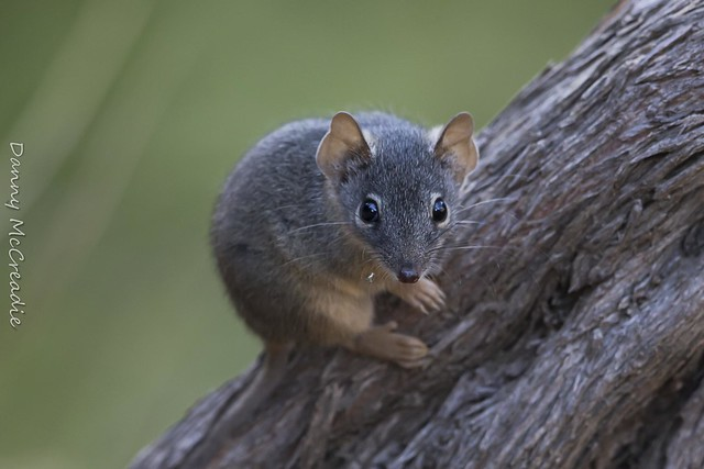 Yellow Footed Antechinus, Morialta Conservation Park, SA