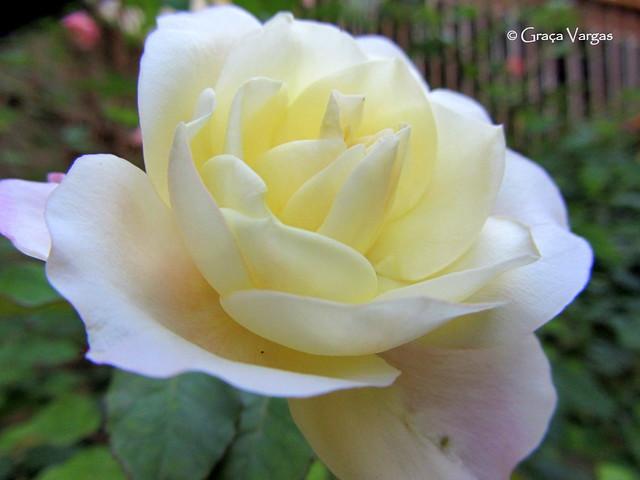 rose, Canon POWERSHOT SX230 HS