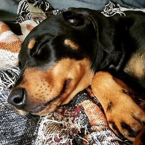 Your Penny puppy fix for the day! #sleepingpuppy #rescuedpuppiesofinstagram #dobermanmix #puppygram #instapuppy #puppylove #dobiemix #muttsofinstagram #sleepypuppy #adoptdontshop