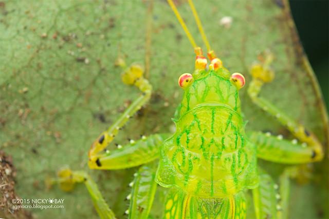 Katydid (Tettigoniidae) - DSC_4794