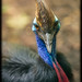 Cassowary (Casuarius casuarius) by Craig Jewell Photography