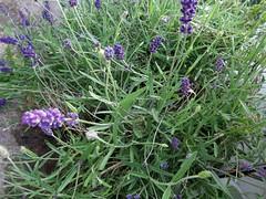 hyssopus, flower, english lavender, plant, lavender, subshrub, wildflower, flora,
