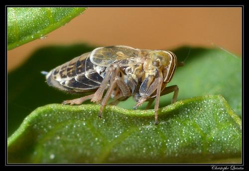 Dicranotropis hamata femelle