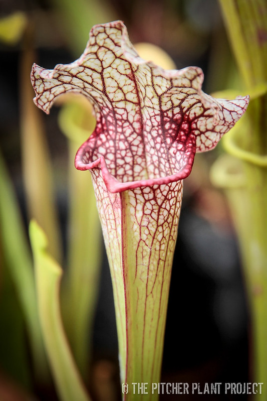 Sarracenia (minor x willisii) x purpurea ssp. purpurea) x leucophylla