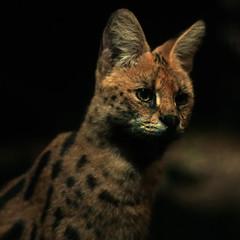 animal, small to medium-sized cats, savannah, pet, fauna, close-up, cat, carnivoran, whiskers, bobcat, wildlife,