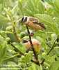 Black-headed Grosbeak at fig