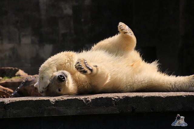 Eisbär Fiete im Zoo Rostock 0105