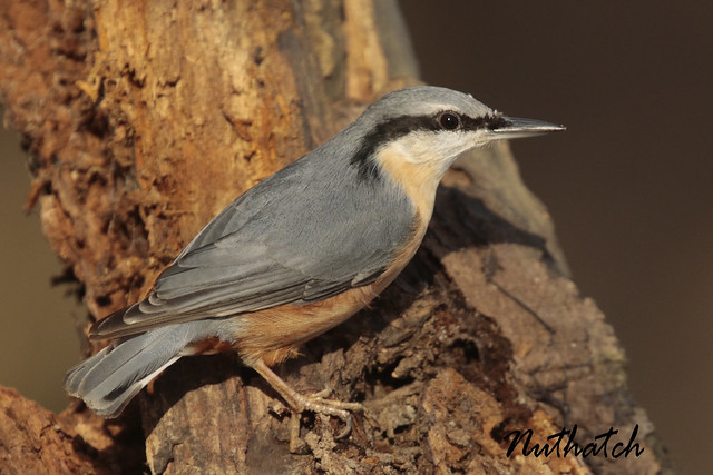 NUTHATCH BOSSENDEN WOODS Nr, Canon EOS 7D MARK II, Canon EF 400mm f/4 DO IS