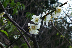 Plum and Cherry blossoms '17