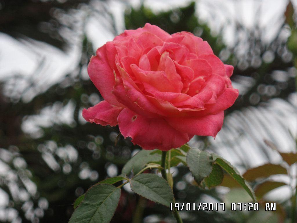 hoa hong 2 da dec (1)