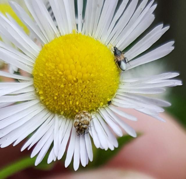 Anthrenus (A. verbasci?), carpet beetle, and Orius insidiosus, insidious flower bug, on Erigeron, fleabane, growing as a weed in my garden, June 2015