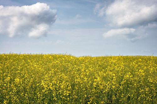summer sky clouds outdoors skåne warm sweden background minimal simple raps canola rapeseed skã¥ne ãsterlen