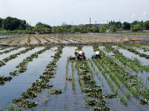 菱角苗剛種下等著成長,因此必須除掉再生稻。