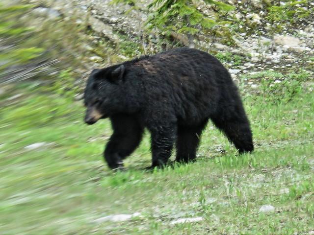 Black Bear 20150619