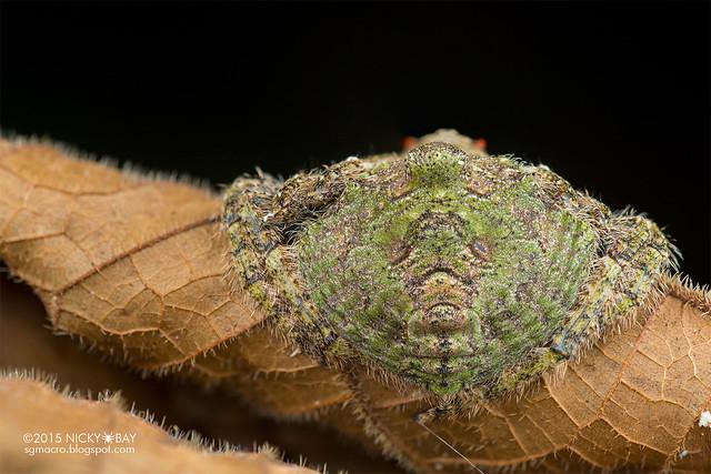 Wrap-around spider (Dolophones sp.) - DSC_5025