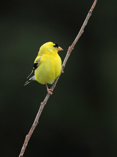 American Goldfinch 20150702