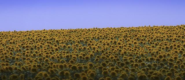 Campo de girasoles en Andalucia, España (2015)