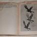20150715-DSCF8690 Harriers In Flight Page Pelican Bird Recognition Books By James Fisher.jpg