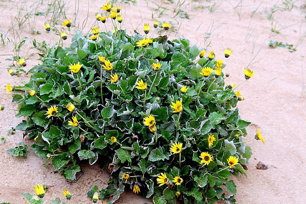 plantas invasoras arctotheca calendula